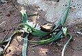 Allium chamaemoly - Ail petit Moly 02.jpg