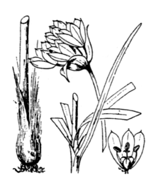 Allium narcissiflorum Flore Coste 3462.png