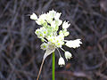 Allium pallens Inflorescencia 2010-6-24 DehesaBoyaldePuertollano.jpg
