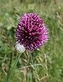 Allium sphaerocephalon 3.jpg