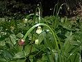 Allium victorialis 2016-04-28 9257.jpg