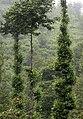 Alnus glutinosa - Common alder, Giresun 2017-07-06 02-1.jpg