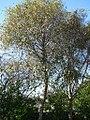 Alnus jorullensis Kunth (AM AK327106-4).jpg