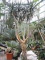 Aloe dichotoma var. ramosissima - Palmengarten Frankfurt - DSC01737.JPG