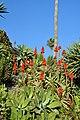 Aloes (22840545536).jpg