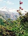 Alpes, flora (1983) 21.jpg