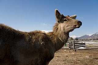 Altai wapiti Subspecies of deer