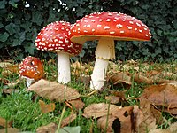 A group of three mushrooms, ranging in size from small to large, with red caps dotted with white warts, and white stems. The largest of the three has a droopy skirt hanging from the upper portion of its stem. The mushrooms are growing in the ground, surrounded by fallen brown leaves, green grass, and a dark green bush in the background.