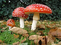 [Obrazek: 250px-Amanita_muscaria_3_vliegenzwammen_op_rij.jpg]