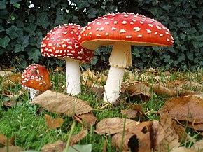 L'Amanite Tue-Mouches (champignon) 290px-Amanita_muscaria_3_vliegenzwammen_op_rij