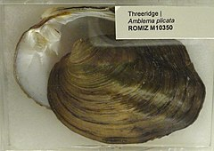 240px amblema plicata   royal ontario museum   dsc00194
