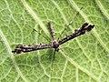 Amblyptilia punctidactyla (27318049558).jpg