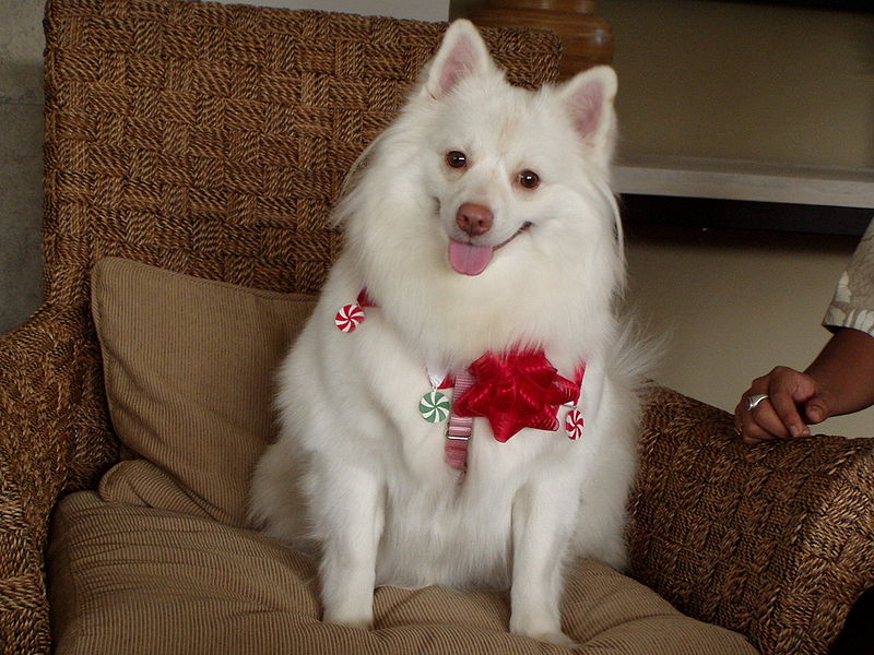 Cute American Eskimo Dog with red flower