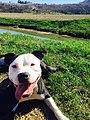 American Pit Bull Terrier .jpg