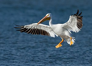American white pelican - Flying in Dallas, USA