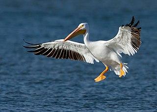 American white pelican species of bird