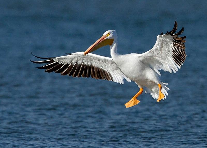 File:American White Pelican.jpg