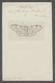 Amphidasys - Print - Iconographia Zoologica - Special Collections University of Amsterdam - UBAINV0274 059 04 0002.tif