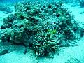 Amphiprion chrysogaster 03.jpg