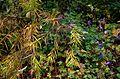 Amsonia hubrichtii hyb ^ Geranium Buxton's Blue - Flickr - peganum.jpg