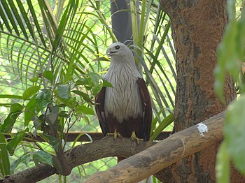An eagle watching for its prey in the captivity.jpg