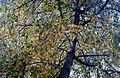 Anadolu sığla ağacı - Liquidambar orientalis 2.jpg