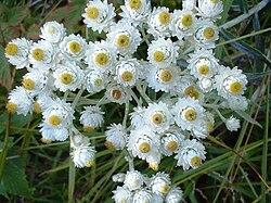 Anapahlis margaritacea.jpg