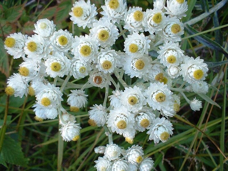 immortelle argenté fleurs blanches