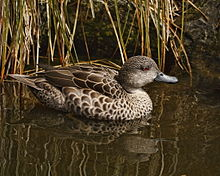 Anas gracilis -Nga Manu Nature Reserve, Waikanae, New Zealand -swimming-8.jpg