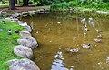 Anas platyrhynchos in Gisborne Botanical Gardens 02.jpg