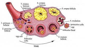 Human reproductive system - Anatomy of the ovary