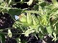 Anchusa arvensis flower fruit 1 AB.jpg