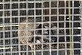 Andaman masked palm civet (Paguma larvata tytleri) in captivity DSC 7646.jpg