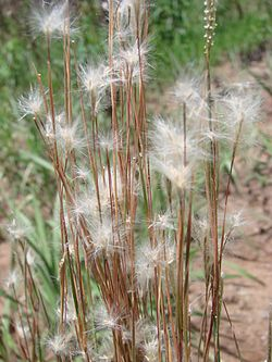 definition of andropogon