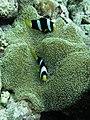 Anemone fish.jpg