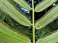 Angiopteris evecta, Royal Botanic Garden Sydney IMG 20190502 115445.jpg
