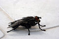 Another fly (2520817091).jpg