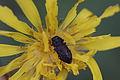 Anthaxia quadripunctata ? (Buprestidae) (7638272340).jpg