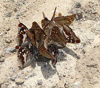 Butterflies Emperors eat a moisture from a body of a frog