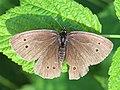 Aphantopus hyperantus 03.JPG