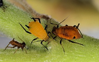 Hemiptera - Aphids