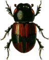Aphodius conjugatus Jacobson.png