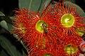 Apis mellifera feeding on nectar from a Corymbia ficifolia flower.jpg