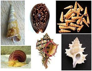 Beispiele von Apogastropoda