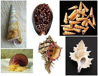 Apogastropoda Group of molluscs