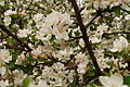 Apple-flowers-spring - West Virginia - ForestWander.jpg
