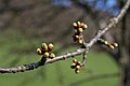 Apple-tree-buds.jpg