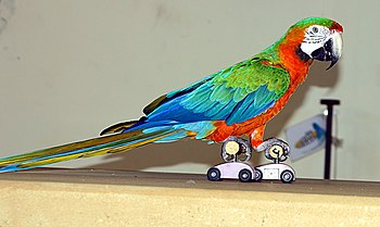 Ara hybrid on roller skates at Paphos Bird Park