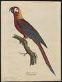 Ara tricolor - 1842-1855 - Print - Iconographia Zoologica - Special Collections University of Amsterdam - UBA01 IZ18500123.tif