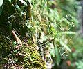 Arabidopsis arenosa 2.jpg